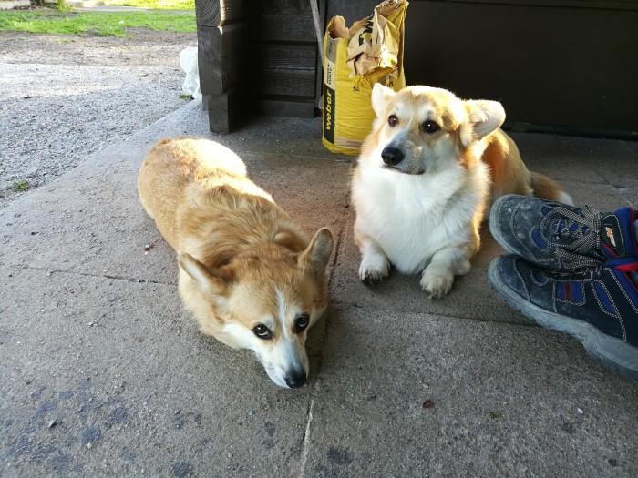 Aina koira ei ole lähtöisin hyvistä olosuhteista. Vasemmalla Ellan  Kurosen pelastama Emma. Kuva: Ella Kuronen